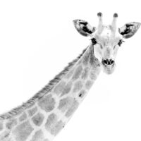Portrett av giraff, fotokunst veggbilde / plakat av Terje Kolaas