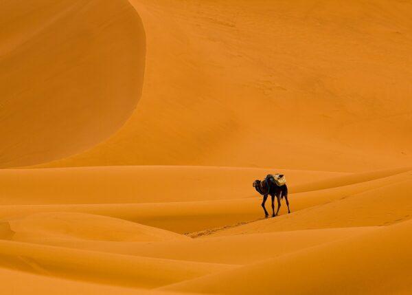 Kamel i Sahara, fotokunst veggbilde / plakat av Terje Kolaas