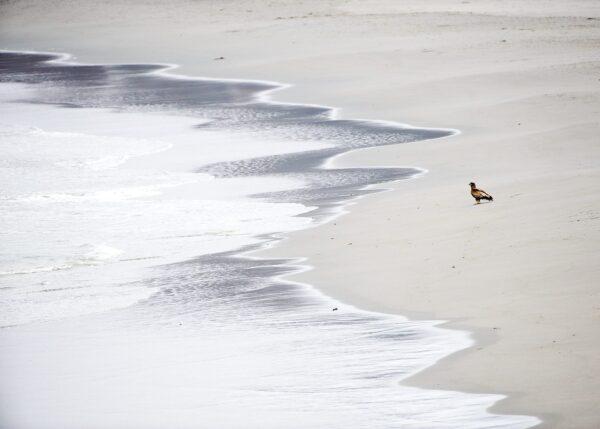 Havørn på strand, fotokunst veggbilde / plakat av Terje Kolaas