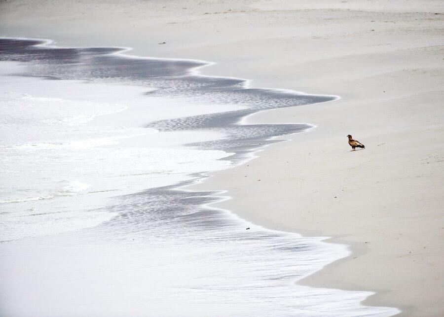Havørn på strand av Terje Kolaas