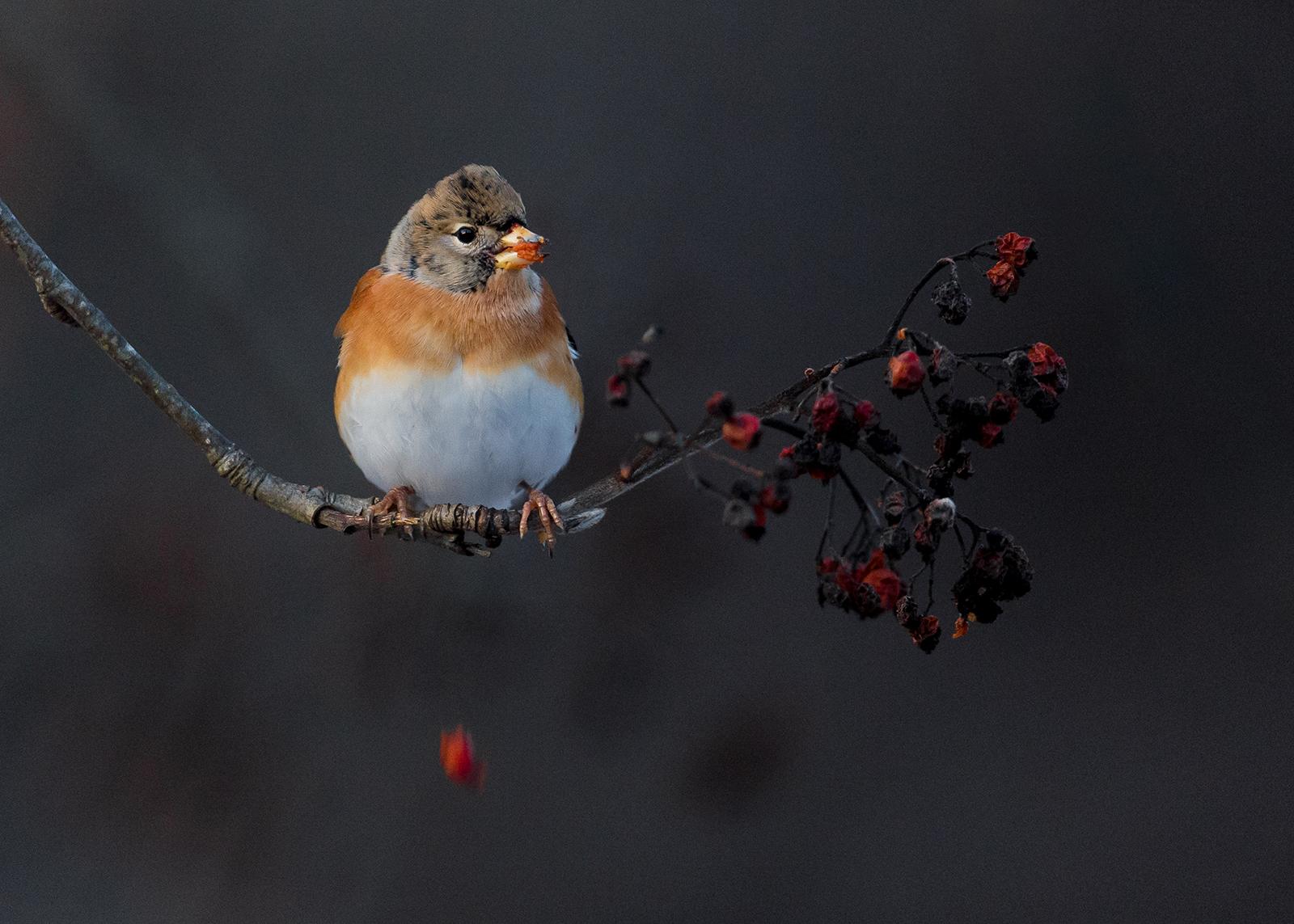 Bjørkefink mister bær av Terje Kolaas