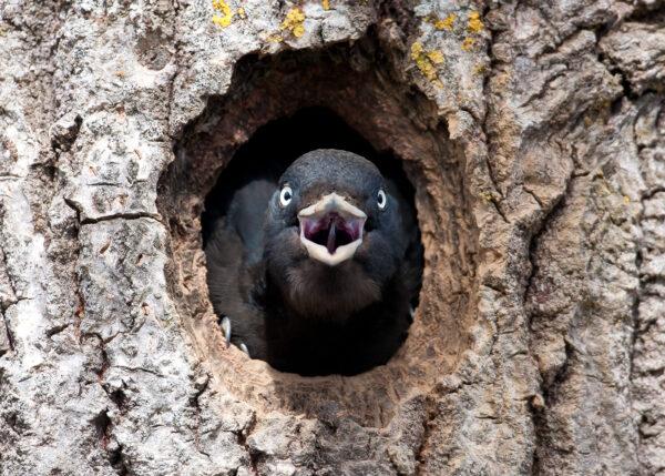 Angry bird aka svartspett, fotokunst veggbilde / plakat av Terje Kolaas