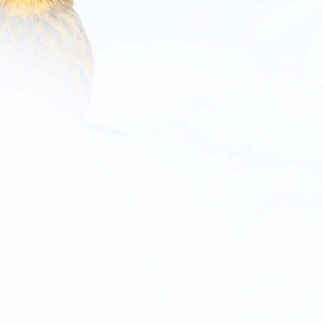 Gulspurven i snøen, fotokunst veggbilde / plakat av Terje Kolaas