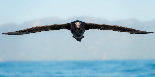 Flygende gigant - kjempepetrell, fotokunst veggbilde / plakat av Terje Kolaas