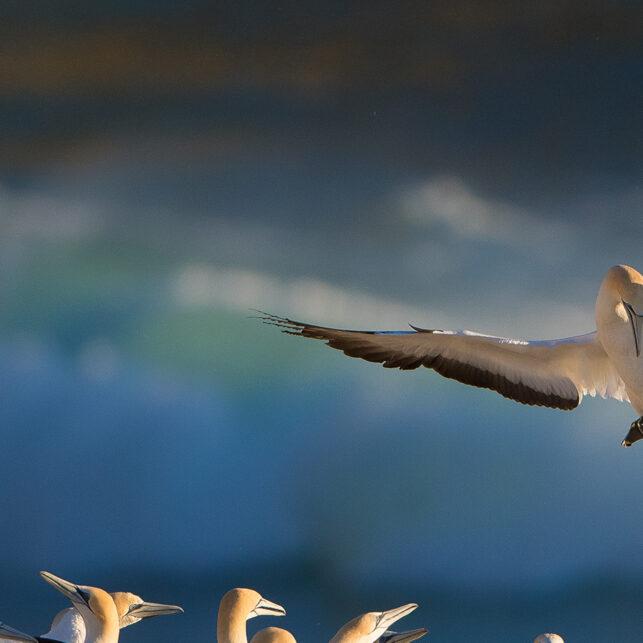 Havsulekoloni, fotokunst veggbilde / plakat av Terje Kolaas