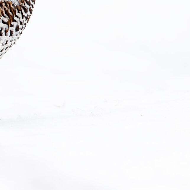 Jerpe på snø, fotokunst veggbilde / plakat av Terje Kolaas