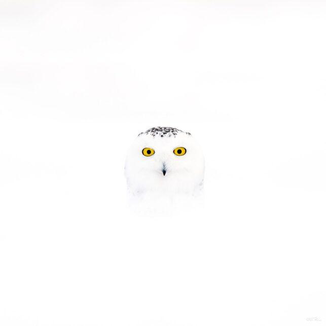Snøugle kikker fram fra snøen II av Terje Kolaas