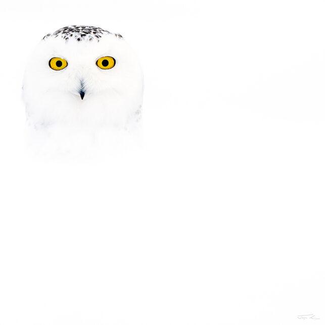 Snøhvit snøugle i snø, fotokunst veggbilde / plakat av Terje Kolaas