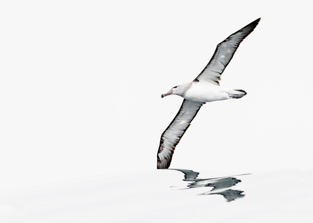 Albatross - kongen av stormfuglene, fotokunst veggbilde / plakat av Terje Kolaas