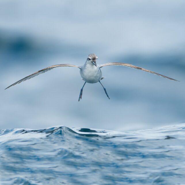 Fairy prion - alvehvalfugl av Terje Kolaas