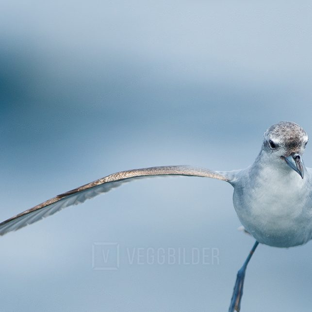 Fairy prion - alvehvalfugl, fotokunst veggbilde / plakat av Terje Kolaas