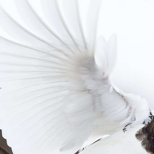 Lirype i flukt, fotokunst veggbilde / plakat av Terje Kolaas
