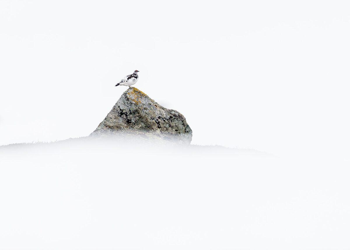 Fjellrype på stein, fotokunst veggbilde / plakat av Terje Kolaas