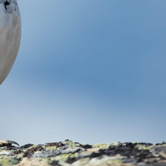 Stolt fjellrypeskarv, fotokunst veggbilde / plakat av Terje Kolaas