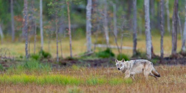 Enslig ulv på høstmyr, fotokunst veggbilde / plakat av Terje Kolaas