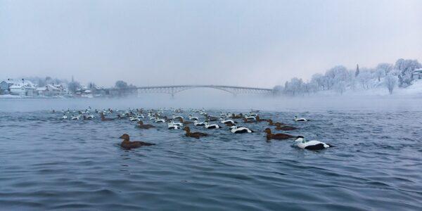 Ærfugler i kaldt vann, fotokunst veggbilde / plakat av Terje Kolaas