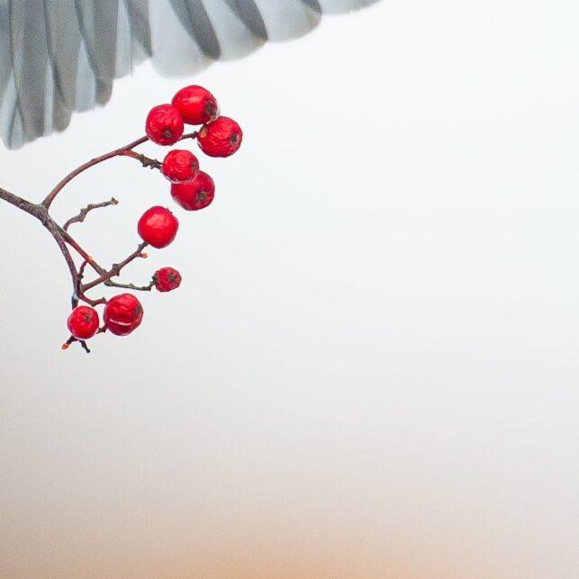 Vakker trost med rognebær, fotokunst veggbilde / plakat av Terje Kolaas