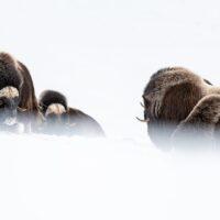 Moskus i vinterland I, fotokunst veggbilde / plakat av Terje Kolaas