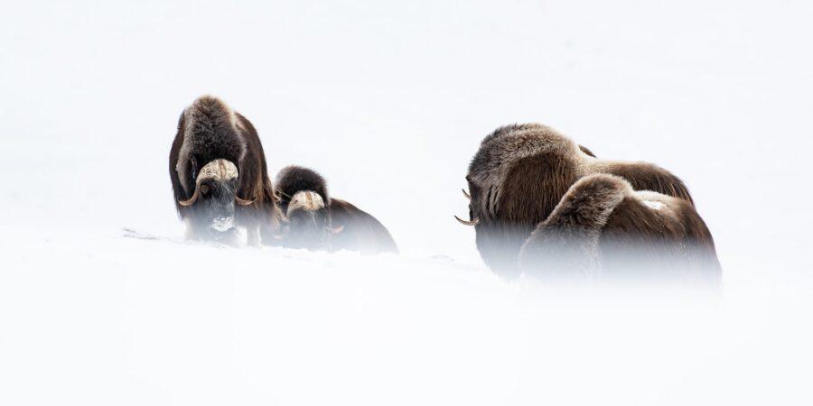 Moskus i vinterland I av Terje Kolaas