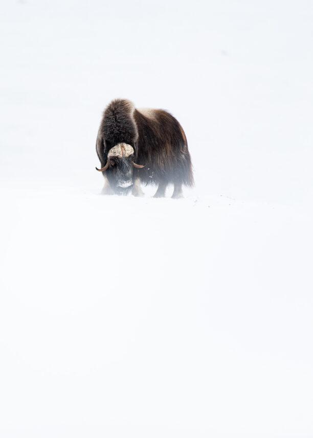 Enslig moskus i snø, fotokunst veggbilde / plakat av Terje Kolaas