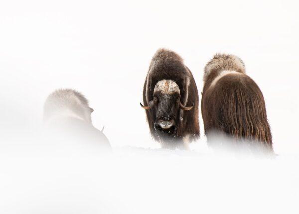 Moskusokser i snø, fotokunst veggbilde / plakat av Terje Kolaas