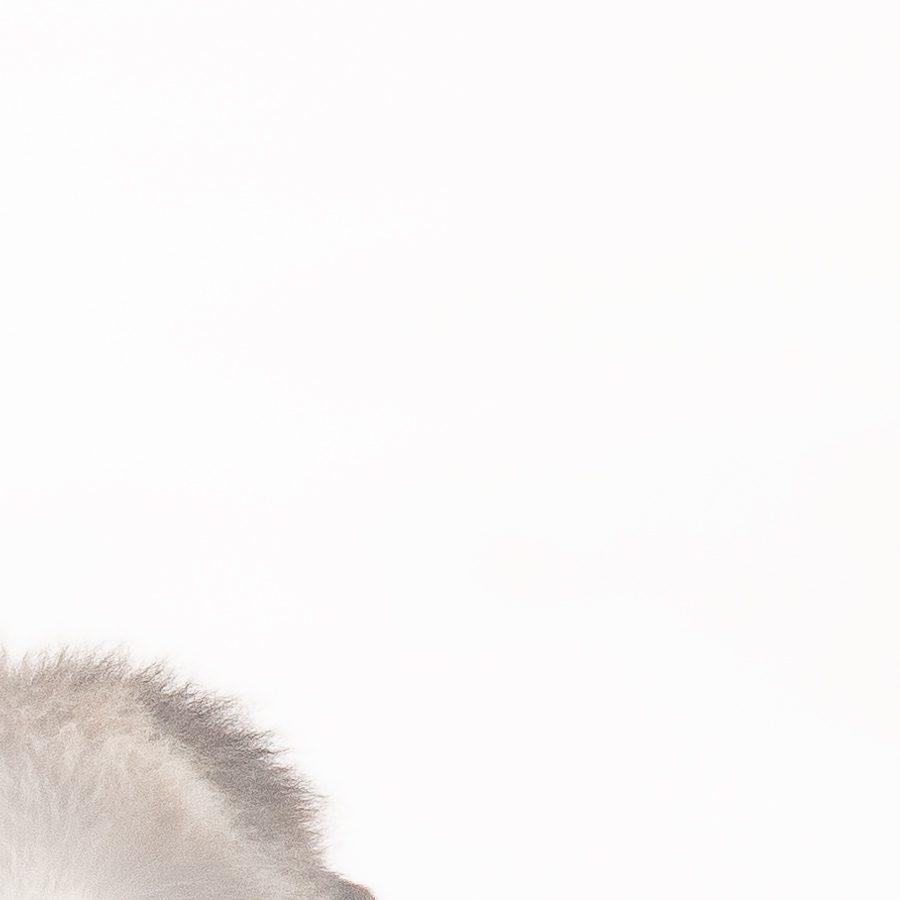 Moskusokser i snø av Terje Kolaas