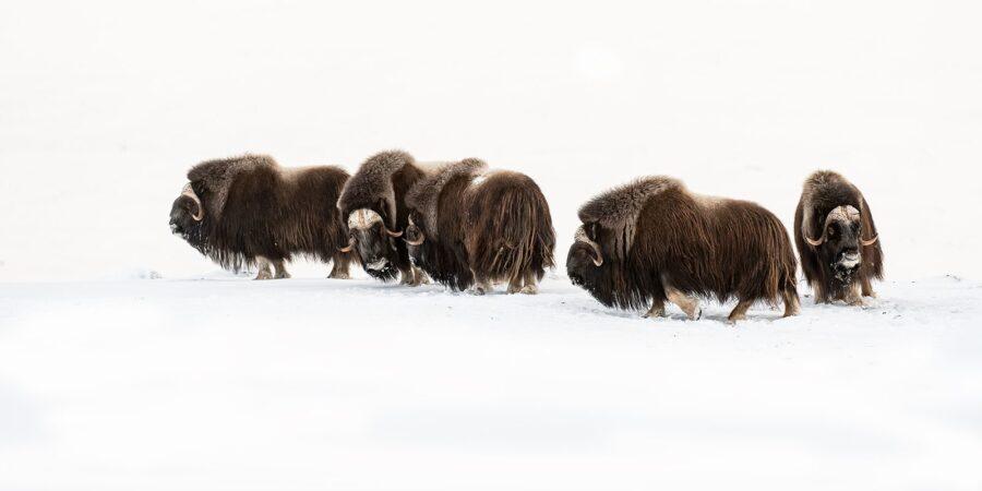 Moskusflokk i vinterfjellet av Terje Kolaas