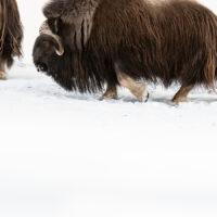 Moskusflokk i vinterfjellet, fotokunst veggbilde / plakat av Terje Kolaas