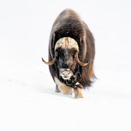 Moskus i vinterfjellet, fotokunst veggbilde / plakat av Terje Kolaas