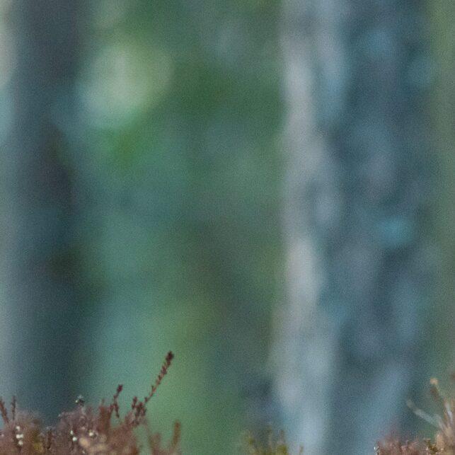 I tiurskogen I, fotokunst veggbilde / plakat av Terje Kolaas