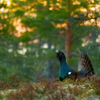 I tiurskogen II, fotokunst veggbilde / plakat av Terje Kolaas