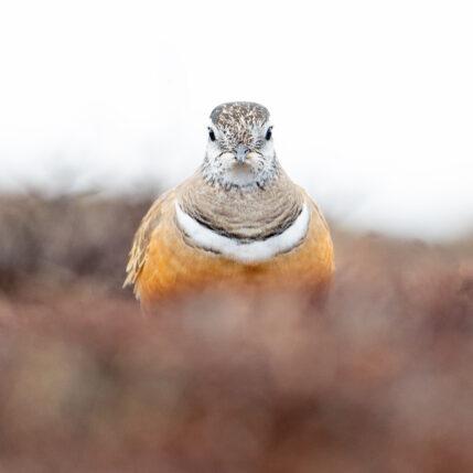 Boltit - høyfjellets fugl I, fotokunst veggbilde / plakat av Terje Kolaas