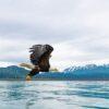 Hvithodeørn i Alaska VI, fotokunst veggbilde / plakat av Terje Kolaas