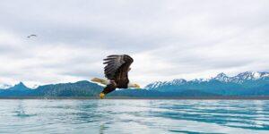Hvithodeørn i Alaska III, fotokunst veggbilde / plakat av Terje Kolaas