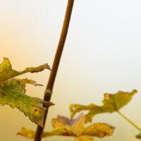 Sidensvans i høstfarger, fotokunst veggbilde / plakat av Terje Kolaas