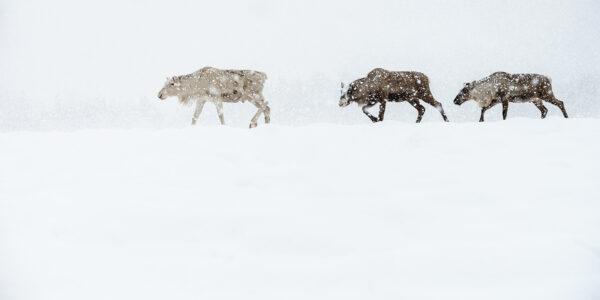 Rein i snøstorm, fotokunst veggbilde / plakat av Terje Kolaas