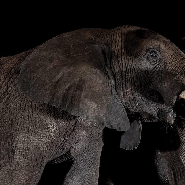 Elefanter ved vannhullet III, fotokunst veggbilde / plakat av Terje Kolaas