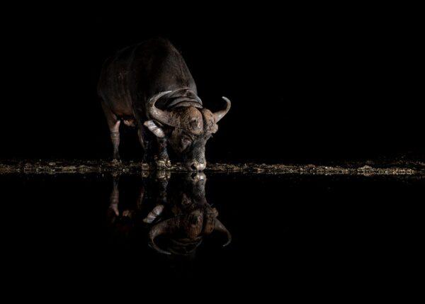 Vannbøffel ved vannhullet II, fotokunst veggbilde / plakat av Terje Kolaas