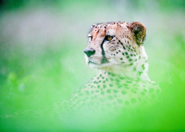 Portrett av gepard, fotokunst veggbilde / plakat av Terje Kolaas