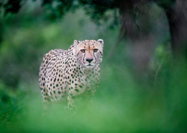 Gepard på jakt, fotokunst veggbilde / plakat av Terje Kolaas