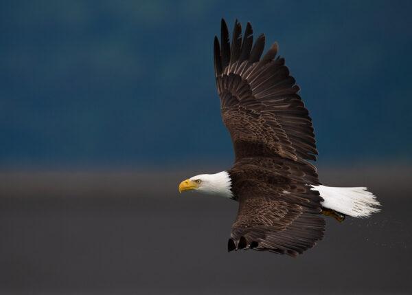 Bald Eagle, fotokunst veggbilde / plakat av Terje Kolaas