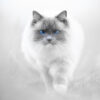 Blåøyd katt, fotokunst veggbilde / plakat av Terje Kolaas