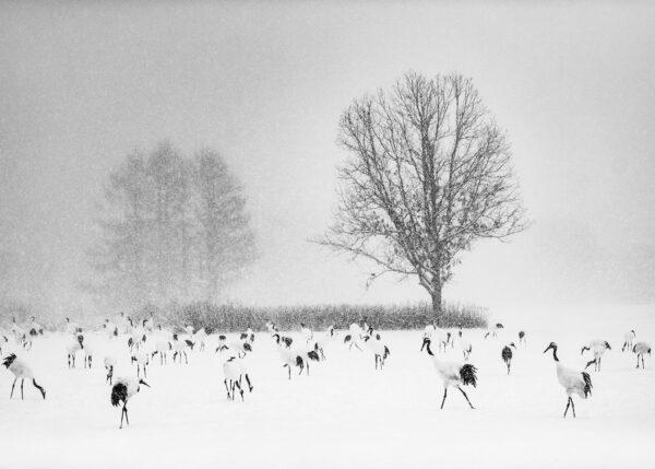 Traner i snø, fotokunst veggbilde / plakat av Terje Kolaas