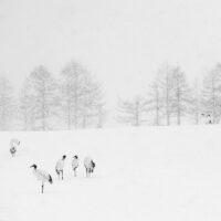 Traner i snø II, fotokunst veggbilde / plakat av Terje Kolaas