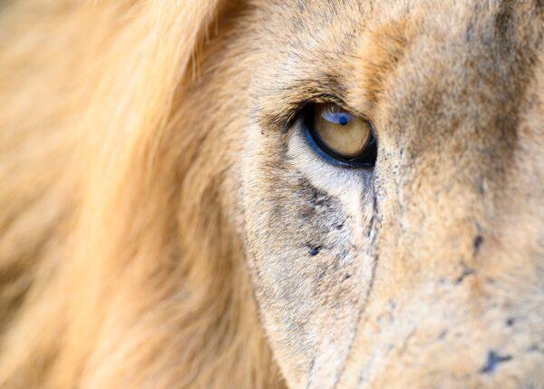 Løveblikk, fotokunst veggbilde / plakat av Terje Kolaas