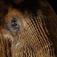 Elefantens øye, fotokunst veggbilde / plakat av Terje Kolaas