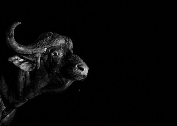Portrett av vannbøffel, fotokunst veggbilde / plakat av Terje Kolaas