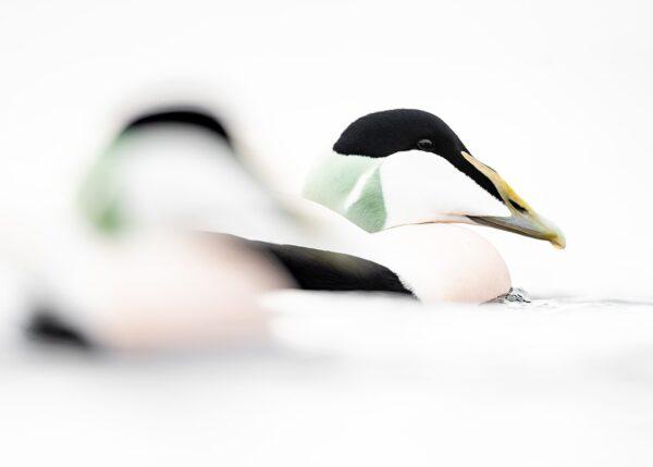 Ærfugl whiteout, fotokunst veggbilde / plakat av Terje Kolaas