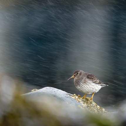 Fjæreplytt i hardt vær, fotokunst veggbilde / plakat av Terje Kolaas