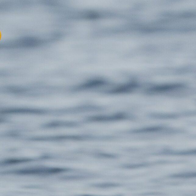 Voksen havørn på fisketur, fotokunst veggbilde / plakat av Terje Kolaas